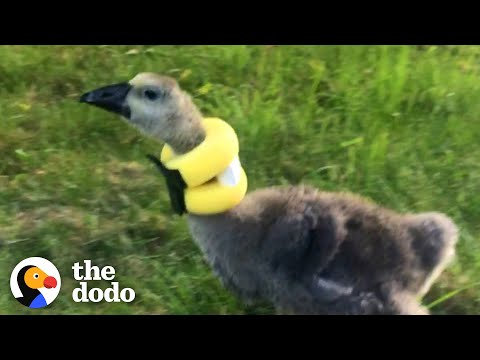 Gosling Finds The Perfect Mom To Help Her Stand Up Straight   The Dodo Little But Fierce