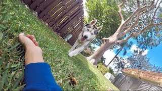 What My Husky Does When I Pretend Faint!
