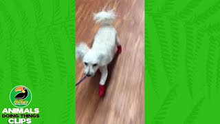 Little Dog Does Funny Walk in Shoes   Animals Doing Things Clips