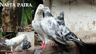 pigeons lover