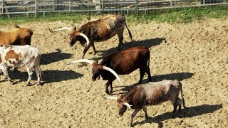 How Longhorn Cattle First Came to Texas