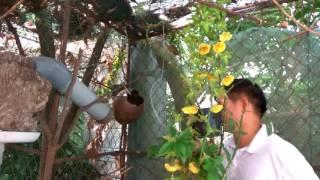 Kỹ thuật nuôi chim chòe lửa, chào mào sinh sản 0945287773