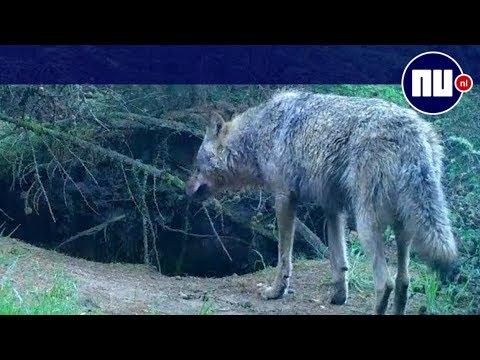 'Wolven gaan ecosysteem van Veluwe veranderen'