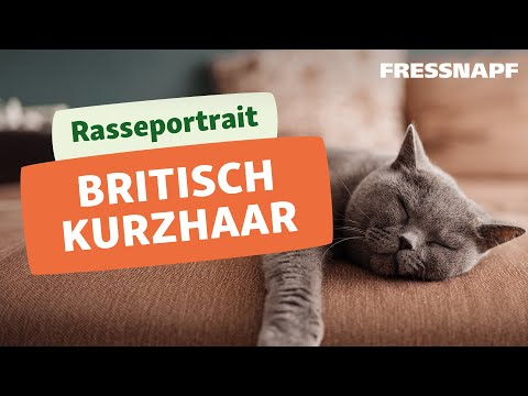 Rasseportrait: Britisch Kurzhaar