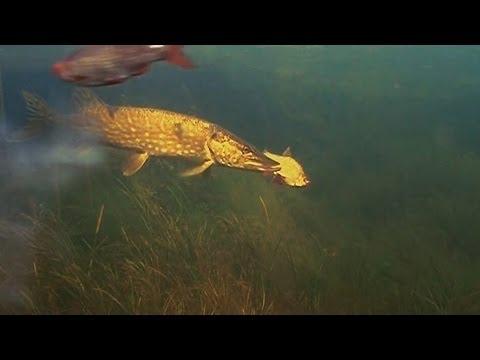 Ленивая щука :) Подводное видео