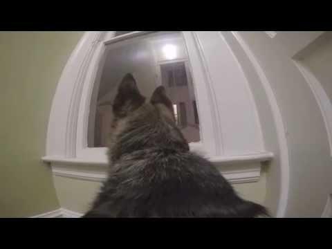 GoPro on a German Shepherd left home alone