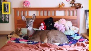 Nakon što je odbačen od svoje, mali jelen pronašao je novu majku!