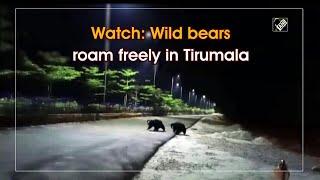 Watch: Wild bears roam freely in Tirumala..