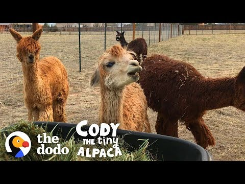 Socially Awkward Alpaca Gets Pushed Outside Her Comfort Zone | Cody The Tiny Alpaca (Episode 3)