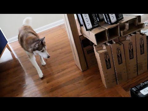 Siberian Husky and the Cardboard Box Fort Challenge!