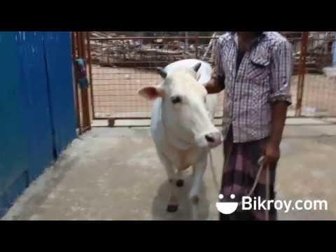 মিরকাদিমের গরু (দামর): Bikroy দিচ্ছে স্পেশাল কুরবানীর পশু ৭০% ডিসকাউন্টে!