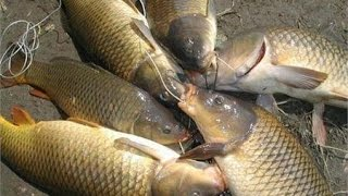 Mồi câu cá chép, trắm, trôi, ... với thành mồi cực độc và dị hiệu quả - - Fishing - Đam mê câu cá.