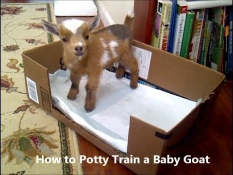 How to Potty Train (House Train) a Baby Goat Kid