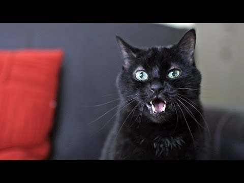 N2 the Talking Cat - What Does the Cat Say? (What Does the Fox Say? Ylvis Parody)