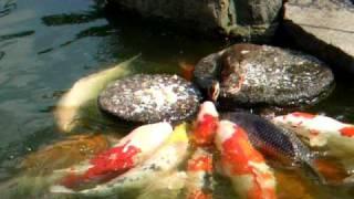 baby duck feed the carp (Nishiki-Goi) 鯉に餌を