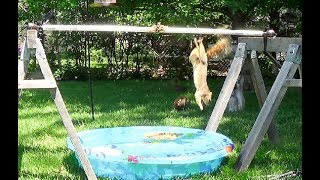 Wipeout! Kind of, with Squirrels and their Swimming Pool