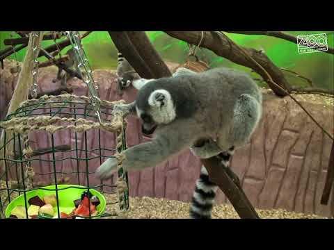 Enrichment u makaků, mandrilů a lemurů