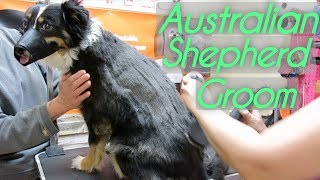 Dog Australian Shepherd Grooming Tips