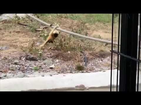 Gibbonunge busar med sitt småsyskon