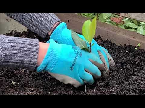 Transplanting Bay Leaf Cuttings
