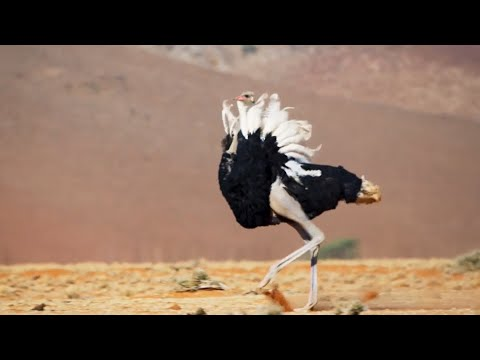 Ostrich Gives the Performance of His Life | The Mating Game | BBC Earth