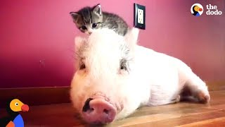 Pig Raised By Cats Thinks He's One Of Them Now - DRAGONLORD UPDATE | The Dodo