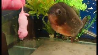 A mouse for crazy reg my piranha (filmed using a Sony xperia xz premium)