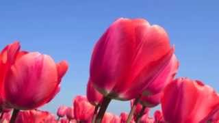 Dutch tulips and blue skies