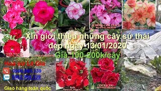 (Đã hết) 13/01/20- Nay con có 32 cây sứ thái đẹp. Giá : 100-200k/cây. Liên hệ: 0908.960.339