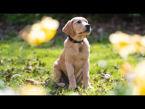 Toyota GB and Guide Dogs: Meet the Puppy Walker - Audio Described