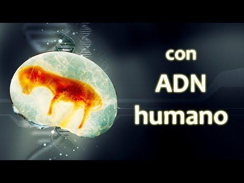 Creado híbrido humano-oveja | Noticias 26/02/2018