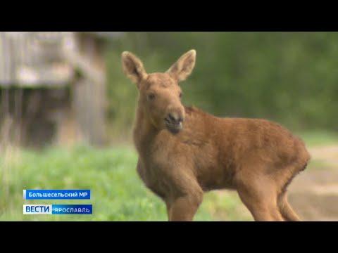 История чудесного спасения Бэмби: новорождённого лосенка приютили жители села Новое