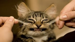 CATS will make you EXPLODE LAUGHING - Funny CAT Compilation