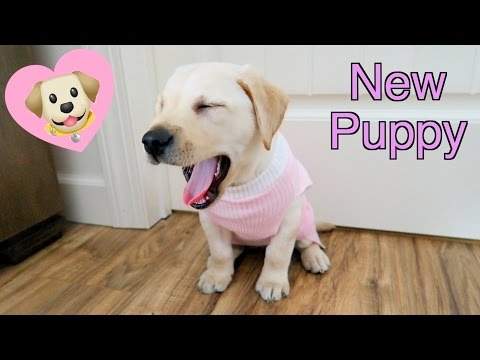 A Puppy For Christmas 🎄🐶 Cute Lab Puppy Playing