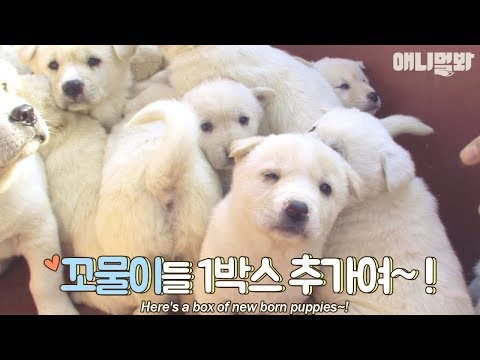 A daily life of 23 cute little white puppies.