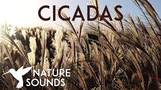 10 HOURS of Cicadas Sounds ~ Summer Nature Sounds in Japan ~ Sleep, Study, Meditation & Yoga