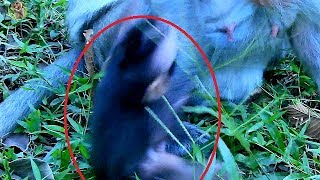 Poor new baby Timo scream get mom weaning him | Why poor old mom Tima do not good on small new baby|