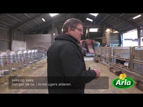 Hvorfor er køer og kalve adskilt i mælkeproduktionen?