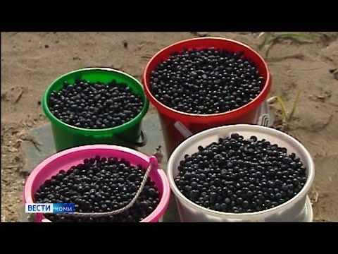 В минприроды Коми назвали самые богатые на урожай дикоросов районы