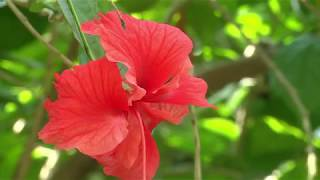 Beautiful Red Hibiscus Flowers In The World/Beautiful Flowers/Amazing Nature/Best Relax Music HD