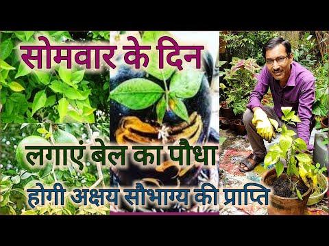 सोमवार के दिन लगाएं बेल का पौधा, मिलेगा अक्षय धन और ऐशर्य / किस दिशा में लगाएं / Growing Bael plant