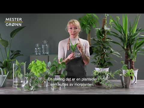 Slik tar du stiklinger og avleggere på grønne planter
