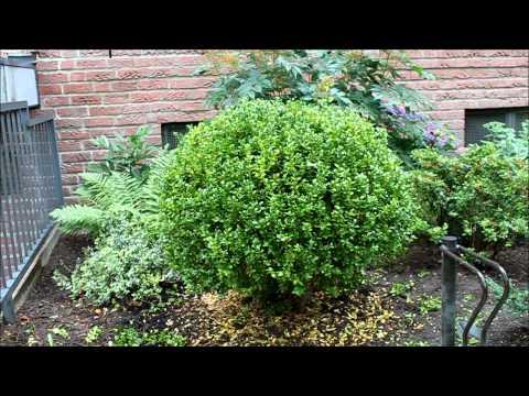 formschnitt buchsbaum oder einen busch zu einer kugel. Black Bedroom Furniture Sets. Home Design Ideas