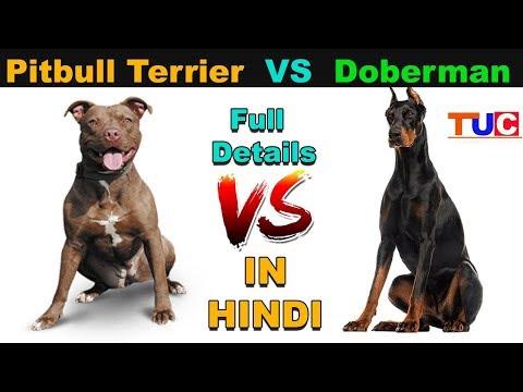 Pitbull Terrier VS Doberman Pinscher : Dog VS Dog : TUC