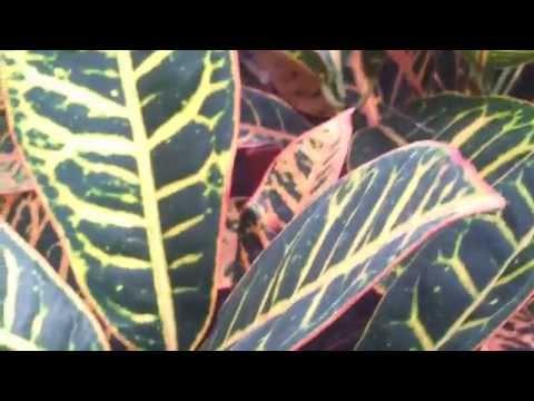 Codiaeum variegatum.