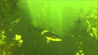 Snorkeling in my suburb neighborhood pond McKinney, Texas