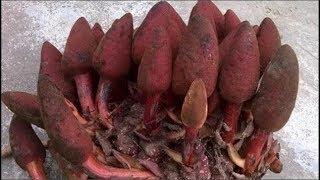 Người đàn ông lên núi hái măng, nhìn thấy 'sinh vật' màu đỏ lạ, đào mang về trồng, hóa ra cả kho báu