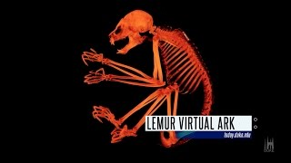 3-D X-ray Lemurs; Springtime at Duke: The Week at Duke in 60 Seconds video