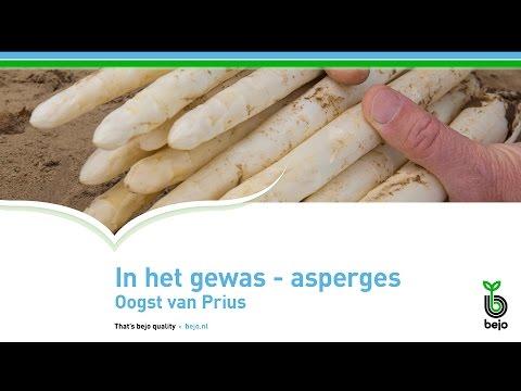 BEJO | In het gewas - Asperges | Oogst van Prius