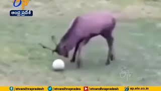 Wild deer scores goal, dances after its victory, video goe..